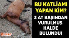 Muğla Marmaris'te boş arazide başından vurulmuş 3 at bulundu!