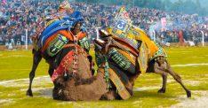 Torbalı'da 4 yıl aradan sonra develer sahaya iniyor