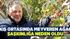 İzmir'de kış ortasında meyve veren ağaç şaşırttı