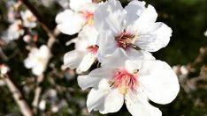 Datça Badem Çiçeği Festivali başlıyor