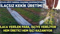 Kurtluca Köyü Tarımsal Kalkınma Kooperatifi'nden: İlaçsız kekik üretimi