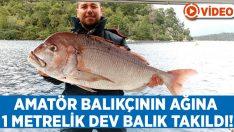 Amatör balıkçının oltasına dev Trança takıldı!