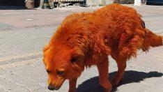 Turuncu renkli köpek görenleri şaşırttı