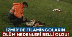 İzmir'de ölü bulunan filamingoların ölüm nedeni belli oldu!